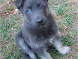 Powder Blue German Shepherd Blue German Shepherd they Have No Black Fur All the