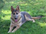 Powder Blue German Shepherd Breeders Large Big X Large Oversized German Shepherds