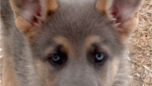 Powder Blue German Shepherd for Sale Blue Powder German Shepherds for Sale