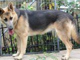Powder Blue German Shepherd for Sale Blue Powder German Shepherds for Sale