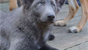 Powder Blue German Shepherd German Shepherd Puppies Stunning Colours Hove East