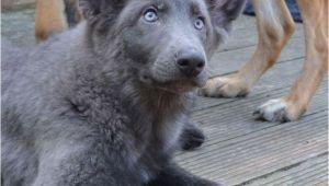 Powder Blue German Shepherd Puppies 162 Best Images About German Shepherds East European