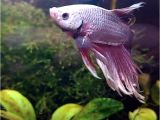 Purple Betta Fish for Sale His Colors are Stunning Betta Fish Bubbles Pinterest Betta