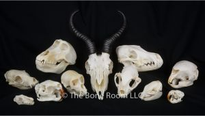 Real Animal Skulls for Sale Real Animal Skulls for Sale the Bone Room