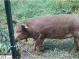 Red Wattle Hogs for Sale Armslist for Sale Red Wattle Pigs and Rhode island Red
