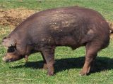 Red Wattle Hogs for Sale Heirloom Red Wattle Hogs Georgia Marketmaker