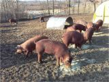 Red Wattle Hogs for Sale Heratage Red Wattle Pigs