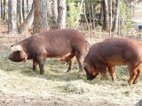 Red Wattle Hogs for Sale Red Wattle Hog Gilts