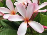 Rooted Plumeria Plants for Sale Dwarf Plumeria Plumeria Bonsai Tree Growing Plumeria From Etsy
