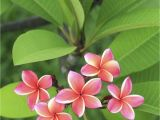 Rooted Plumeria Plants for Sale Fertilizer Requirements for Plumeria Tips On Fertilizing Plumeria