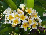 Rooted Plumeria Plants for Sale Growing the White Frangipani Plumeria Alba In the Home Garden