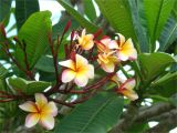 Rooted Plumeria Plants for Sale Plumeria Rubra Ae Pinterest