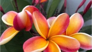 Rooted Plumeria Plants for Sale Rare Plumeria Cutting orange Rainbow Fragrant Etsy