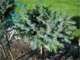 Sester Dwarf Blue Spruce Juniperus