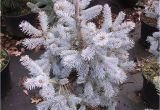 Sester Dwarf Blue Spruce Picea Engelmannii Photo Gallery 2010 Glauca Evergreen Design