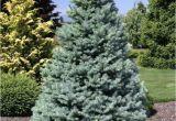 Sester Dwarf Blue Spruce Picea Pungens Sester Dwarf Dwarf Blue Spruce
