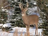 Silver Stag Woods N Water White Tailed Deer