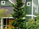 Slender Hinoki False Cypress Slender Hinoki Cypress for Sale Fast Growing Trees Com