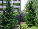 Slender Hinoki False Cypress Slender Hinoki Cypress