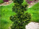 Slender Hinoki False Cypress Slender Hinoki Cypress the Tree Center