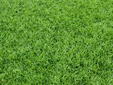 St Augustine Grass San Antonio Pin by Angelika Straua On Cut Pinterest Plants Grass and Garden