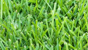 St Augustine Grass San Antonio St Augustine 3 Grass Plugs 36 Count Walmart Com