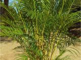 Tall Fake Palm Trees for Sale the Right Palms to Grow Indoors Palms Online Australia