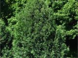 Techny Arborvitae for Sale Arborvitae Techny Chalet Nursery