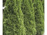Techny Arborvitae for Sale Shop 5 Gallon Emerald Green Arborvitae Screening Shrub In Pot L5480