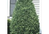 Techny Arborvitae for Sale Techny Arborvitae Screening Shrub In Pot with soil L3949 at