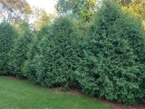 Techny Arborvitae for Sale Techny Arborvitae Seedlings Available for Sale at Chief River Nursery