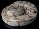 Tienda De Mascotas En Miami Caramel Albino Python Snake Snakes Pinterest Serpientes