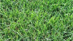Tifway 419 Bermuda Grass Price Tifway 419 Bermuda sod Turf Grass Delivery Prices Elite