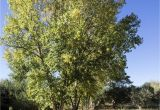 Trees that Grow Well In Colorado Lombardy Poplar Trees