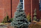 Trees that Grow Well In Colorado Meet 12 Spruce Trees and Shrubs