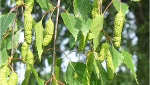 Types Of Birch Trees Birch Tree Names Pictures and Types Of Betula Species