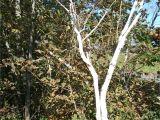 Types Of Birch Trees Species Betula Papyrifera Was Found by Lawiz Birch Trees