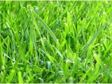 Types Of Grass In Florida Florida Grass Types Identification Florida Lawn Com