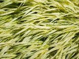 Types Of Grass In Georgia Deer Resistant ornamental Grasses