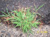 Types Of Grass In Georgia Digitaria Wikipedia