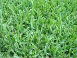 Types Of Grass In Georgia is the Grass On Your Austin Lawn Native