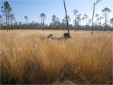Types Of Grass In Georgia Wiregrass Region Wikipedia