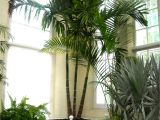 Types Of House Palm Trees Bring On the Palms Indoors Plantscapers