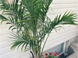 Types Of Small Indoor Palm Trees Potted Palm Images which are the Typical Palm Species
