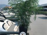 Used Fake Palm Trees for Sale Artificial Silk Palm Tree 6 5 Foot Uv Rated for Outdoor and Indoor