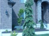 Wissel S Saguaro False Cypress Weeping White Spruce Outdoors Pinterest Yard Landscaping