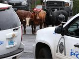You Pick A Part St Louis Missouri Cattle that Escaped From St Louis Slaughterhouse are Headed to